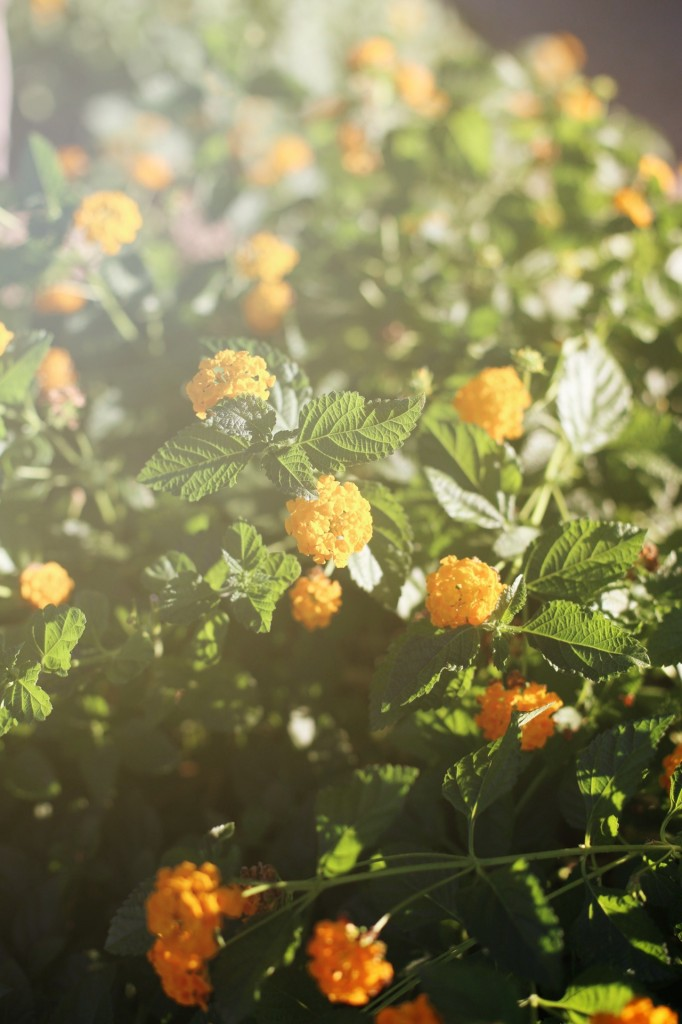 Yellow Lantana in the Sun