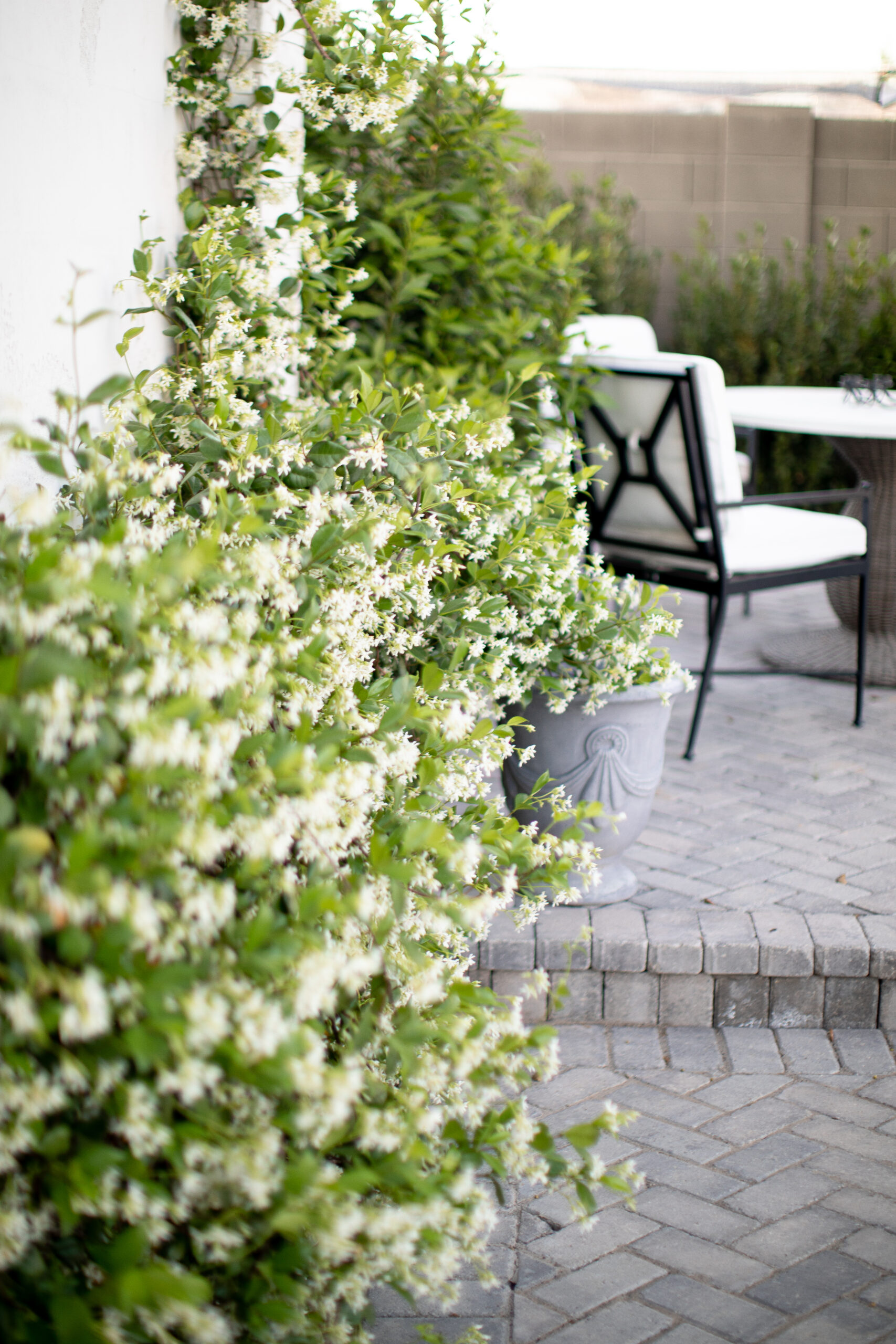 Outdoor Space with Rows of Jasmine Vines